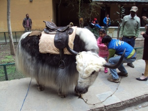 Yak at Hadimba Temple - Manali